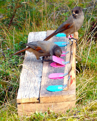 Et eksperiment med lavskriker, som forskerne trekker inn i den nye studien. En voksen fugk venter ved matbrettet til avkommet har tatt mat. Foreldrene er tolerante mot unge fugler de er i slekt med, selv i et eksperiment, ifølge forskerne.