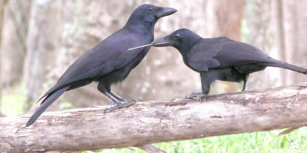 En ung kortnebbkråke (høyre) bruker et pirkeverktøy sammen med en voksen (venstre). Bildet er tatt av en av forskerne bak den nye studien.