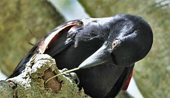 Krokene er mer effektive enn rette pinner når kråkene skal fiske etter larver under barken på trær. Og kortnebbkråkene lager krokene selv, ifølge en 2017-studie i tidsskriftet Current Biology.