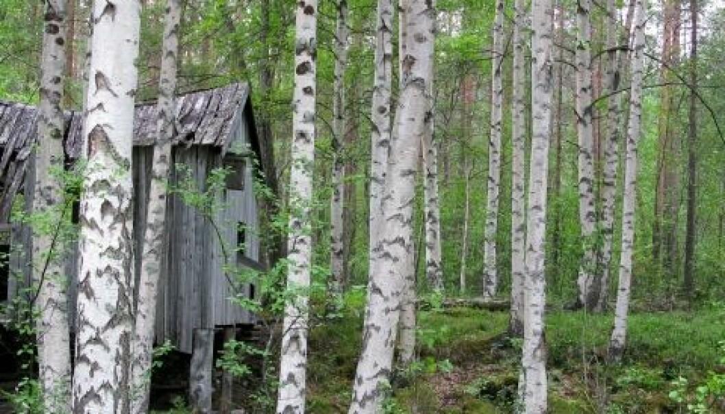 Hengebjørk (Betula pendula) fra Saltdal kommune i Nordland. Arne Steffenrem, Skog og landskap