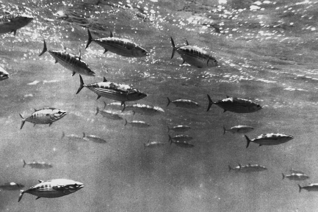 Dette er en stim med Bukstripet bonitt, en type tunfisk og en svært vanlig kommersiell utnyttet fiskeart.