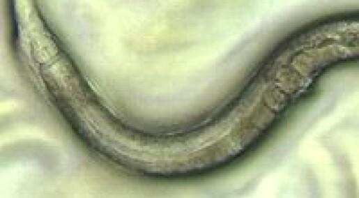 Liten orm gir mer effektiv cellegift