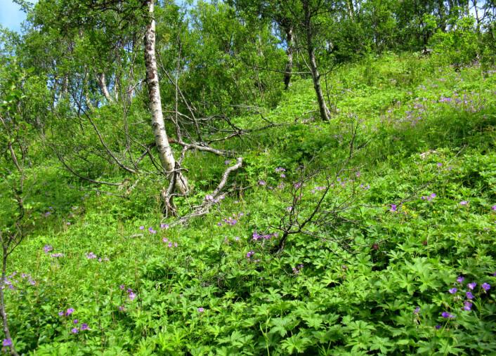 Særmerkt for skogen i Troms er den store andelen av engbjørkeskog. Det er den vanlegaste vegetasjonstypen i skog, og dannar nær 27prosent av skogarealet og 10prosent av totalarealet i fylket. (Foto: Per K. Bjørklund/Skog og landskap)
