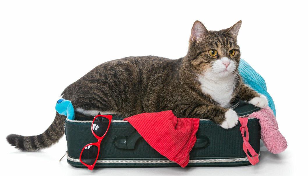 Selv om mange katter elsker å legge seg i kofferter, er det ikke sikkert at de har så lyst til å reise på ferie.