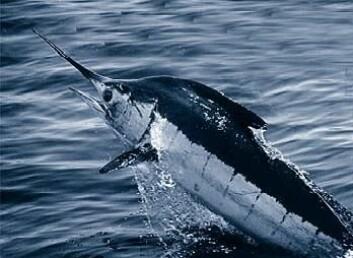 Forskere spår at vannet omkring Danmark vil bli så varmt at blant annet sverdfisk, ansjos og sardiner i løpet av relativt få år vil stortrives her. (Foto: S. Gardieff/Wikipedia)