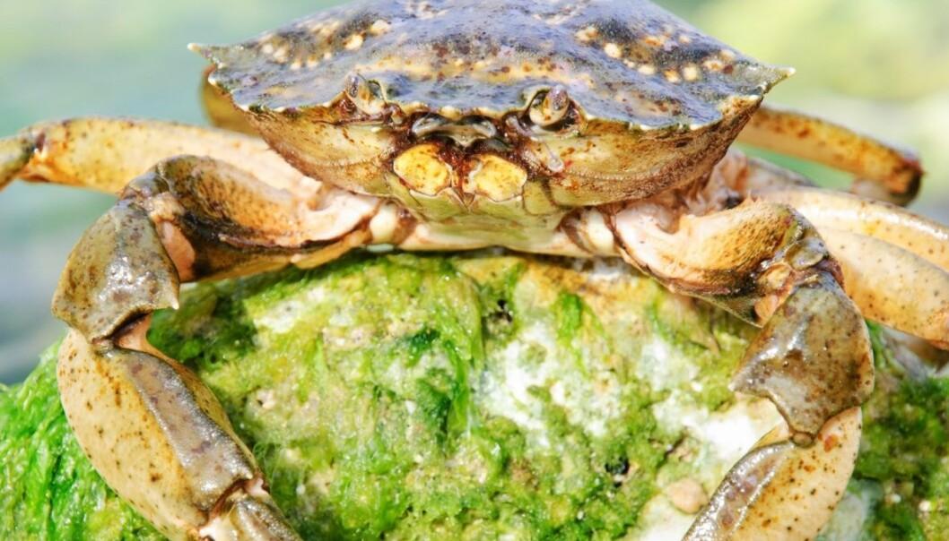 Taskekrabbene trives godt i et hav som har blitt varmere. EMrpize / Scanpix