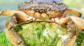 Krabbene kommer til nytte for tareskogen