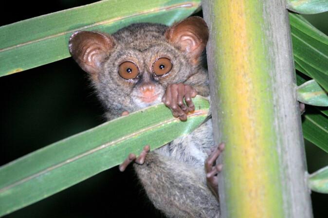 <i>Sangihe tarsier</i> – en type spøkelsesape som trues av avskoging på grunn av dyrking av kokospalme.