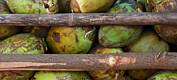 Kokosnøtt – et større miljøproblem enn tidligere antatt