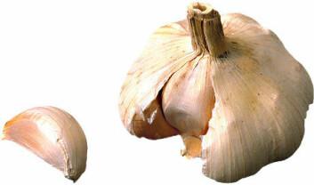 """""""Hvitløk er en av naturmidlene Trondheimsforskerne undersøker. I tillegg står disse på sjekklista: johannesurt, valerian, gingko biloba, solhatt, hestekastanje, salvie, aloe vera, misteltein, grønn te, rosenrot og noni-juice. Videre gransker forskerne produktene Natto-K2 (soyaprodukt med K2-vitamin), Agaricus (japansk soppekstrakt), LZX-A (Nelumbo nucifera gaertn), QTJ (Sinomenium acutum), SQZG (Panex notoginseng) og YHS (Rhizome corydalis). """""""