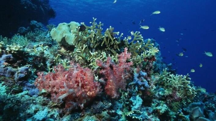 Ei omfattande studie av korallartar på Great Barrier Reef i Australia tyder på at trusselen frå klimaendringar og havforsuring ikkje er like ille som ein tidlegare har trudd. (Foto: ARC Centre of Excellence)