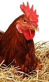 høne legger egg
