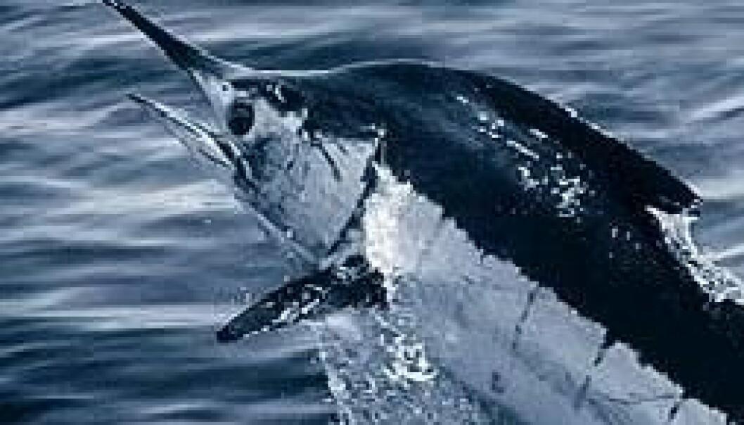 Sverdfisk på vei mot Danmark