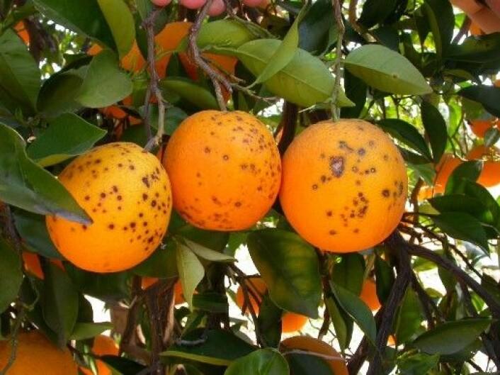 Appelsiner med sitrussvartflekk. (Foto: Antonio Vincent)