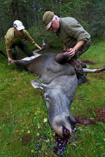 Turister betaler gjerne godt for å få være med på det mange vil kalle høstens vakreste eventyr, elgjakta. Både i Norge og i Sverige satses det stadig mer på denne type naturbasert turisme. ( Foto: Erlend Haarberg/Samfoto)