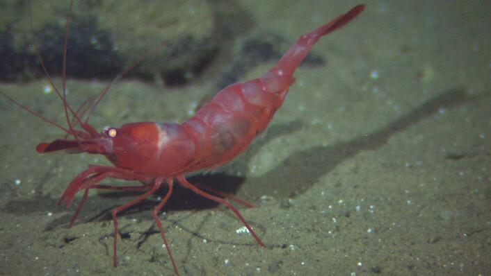 Den fargerike reken Bythocaris leucopis er et vanlig innslag ned mot 2700 meters dyp. (Foto: Mareano/Havforskningsinstituttet)