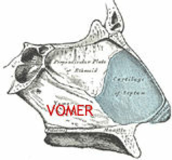 """""""Vomer eller ganebenet er stedet der restene av det vomeronasale organet sitter hos mennesket. Dette organet brukes til å fange opp feromoner hos mus og andre virveldyr."""""""