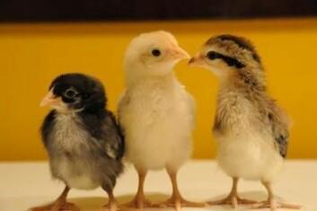 Disse tre er alle åttende generasjons sammenblanding av røde jungelhøns og vanlige tamhøns. Hos de etter hvert voksne hønene med størst kam og tykkest bein fant forskerne to gener som er direkte ansvarlige for de (for oss mennesker, i hvert fall) fordelaktige egenskapene. (Foto: Dominic Wright)