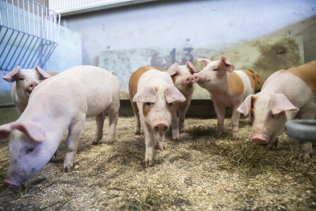 Kan kortreiste fôrråvarer til norsk gris gjøre oss mer selvforsynte?