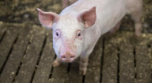 Sunnere griser med kortreist fôr