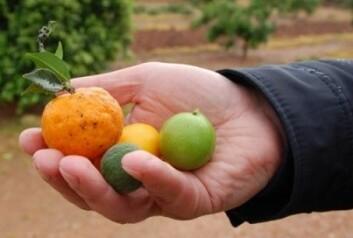 Ulike sorter av sitrus. (Foto: Trond Rafoss)