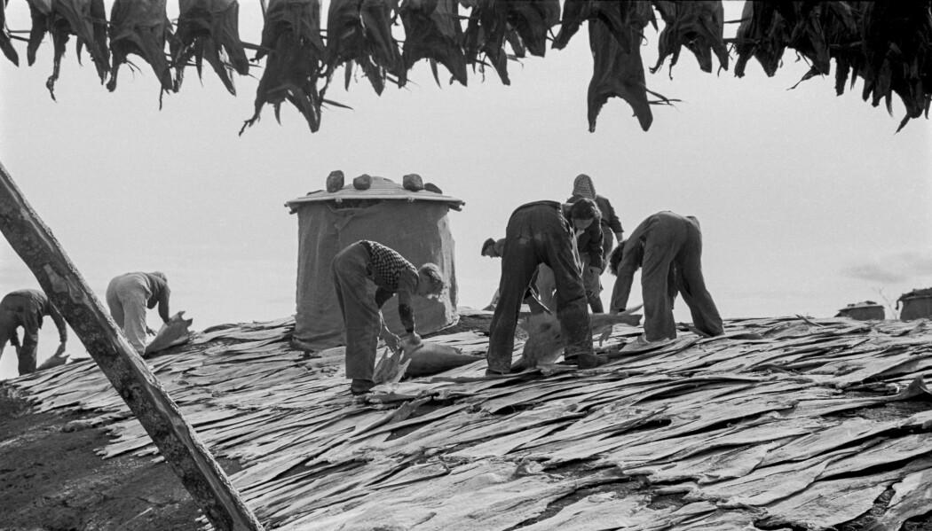 Vi trenger ikke gå langt tilbake i tid for å bli minnet om at tilstander med redusert matforsyning kan inntreffe - med tilhørende behov for grunnleggende kunnskap om lokal matproduksjon og bærekraftig forbruk. Dette omfatter handlingsbåren kunnskap om matkonservering, foredling, tilberedning og andre forhold som reduserer matsvinnet. Bildet viser konservering av fisk i form av tørrfisk og klippfisk, fra Kvaløyhamn på Helgelandskysten i 1952.