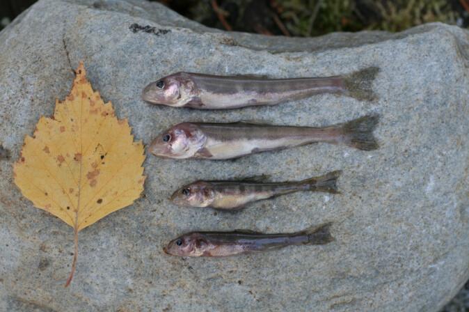 Fire eksemplarer av den nyoppdagede, bitte lille dypvannsrøya. Et løvblad viser størrelsen.