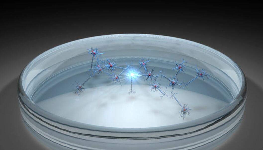 Da forskerne stimulerte en hjernecelle i petriskålen, så de en lang kjedereaksjon som fortsatte etter at de sluttet å stimulere cellene. Cellenettverket husket altså påvirkningen. (Illustrasjon: Per Byhring)