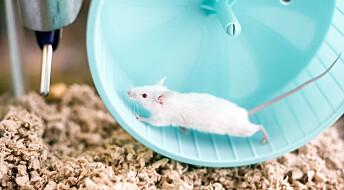 Gamle mus fikk treningseffekt – uten å trene