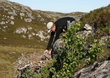 Asgeir Østvik samler ungfugl på Frøya. (Foto: Duncan Halley)