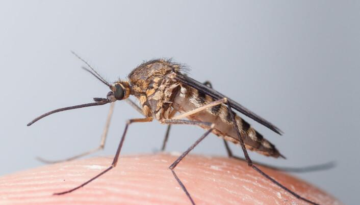 Blodet ditt er et kraftmåltid for myggen