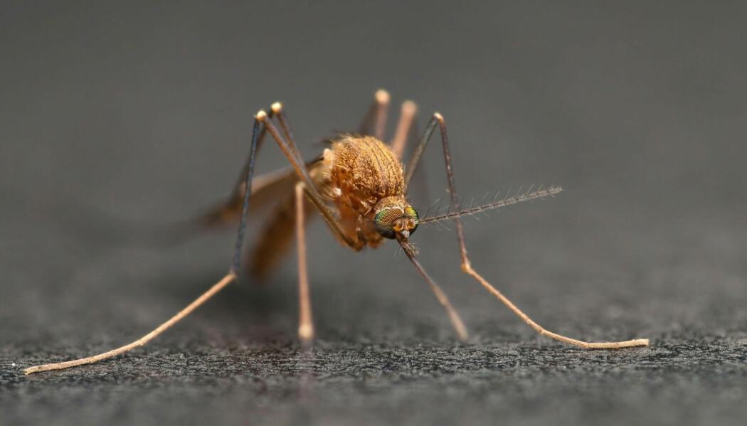 Fuglemyggen er ikke interessert i menneskeblod - men kan likevel komme summende bort og sjekke deg ut når den kjenner duften av CO2.