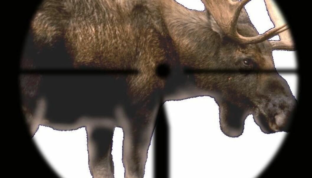 Hvor langt løper en død elg?