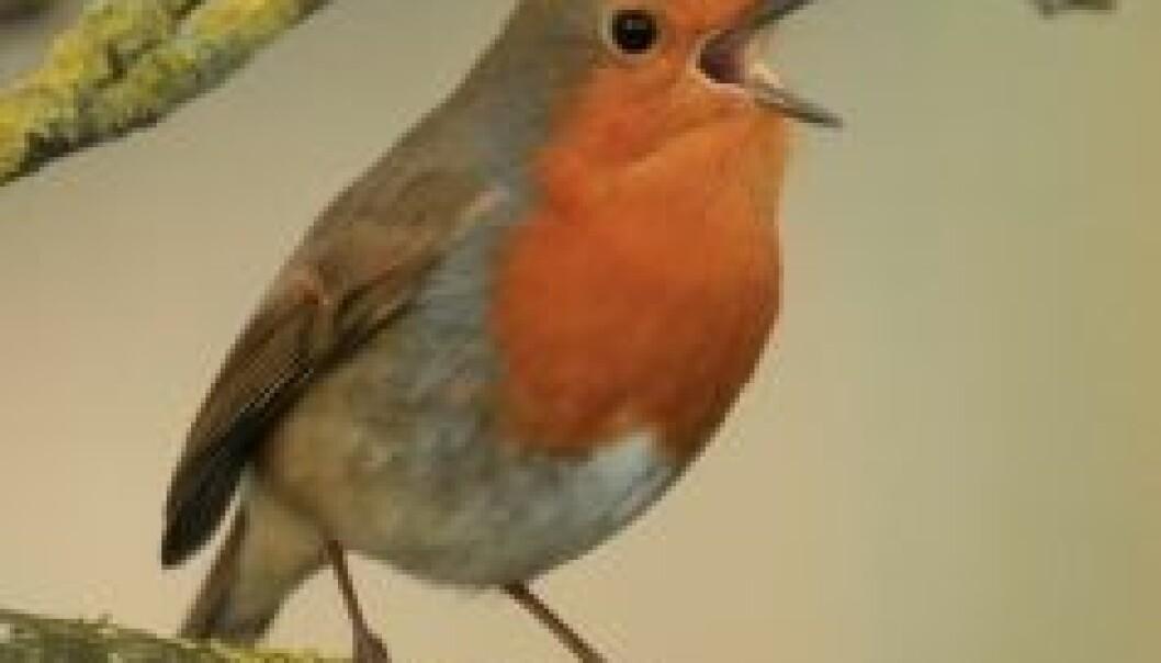 Lytt til rødstrupens sang i stedet for å gruble over din egen angst! (Illustrasjonsfoto: www.photos.com)
