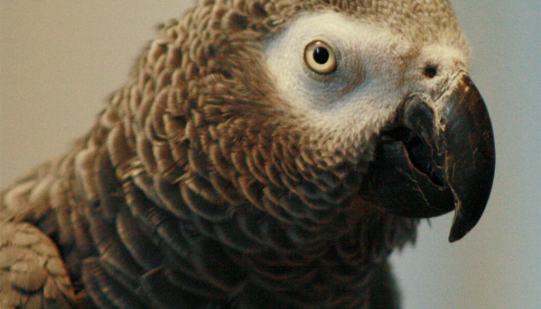 Gråpapegøye. ©Arbeitsgemeinschaft Papageienschutz
