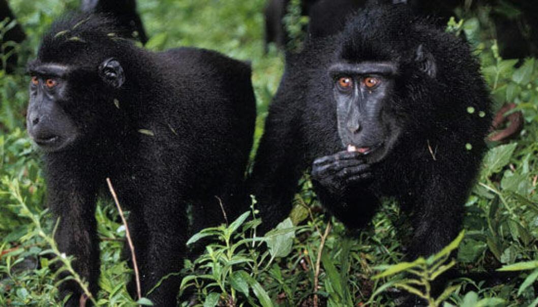 Bestanden av den truete Celebesmakaken har økt i et viktig reservat på Sulawesi i Indonesia. Randall Kyes, UW