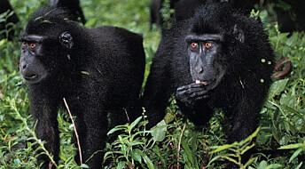 Bedre utsikter for truet makakeape
