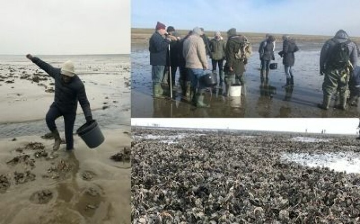Oyster harvesting at the UNESCO World Heritage Wadden Sea National Park, Denmark