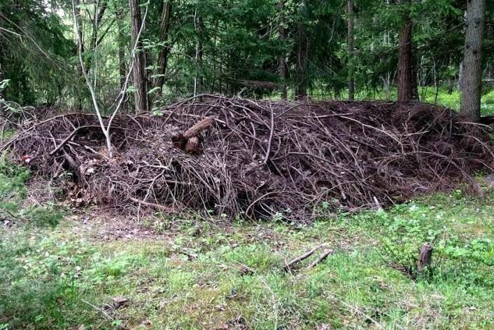 Dumping av hageavfall nær naturlig vegetasjon utgjør en risiko for sykdomsspredning. (Foto: Gunn Mari Strømeng)