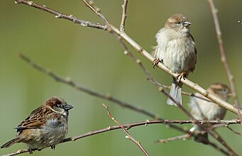 Inbreeding is detrimental for the survival of sparrows