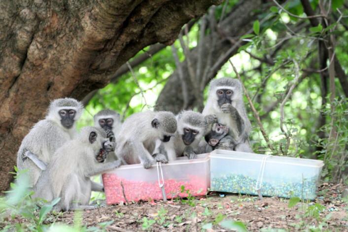 Vervetaper i Sør-Afrika viser hvordan dyr bruker sosial læring til å finne den beste maten. Ulike flokker lærte seg å sette pris på ulike mat. Når noen aper skiftet flokk, skiftet de også preferanser i matveien. (Foto: Erica van de Waal)