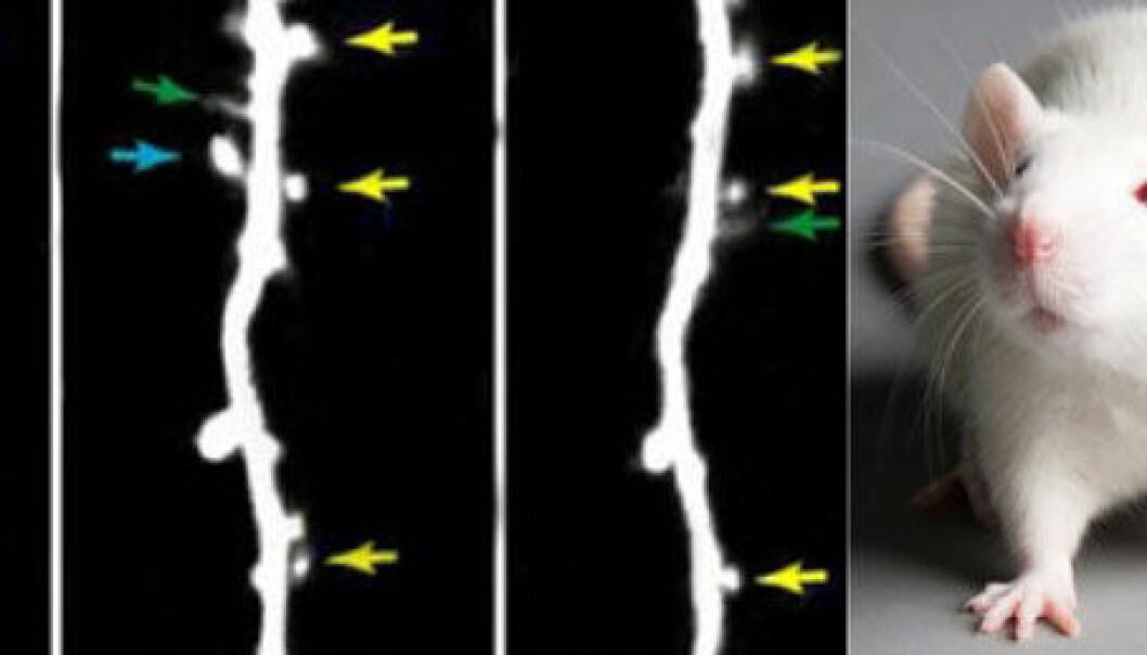 Mus utsett for kokain-injiseringar fekk nye forgreiningar på hjernecellene. UC Berkeley/ Colourbox/ montasje NRK