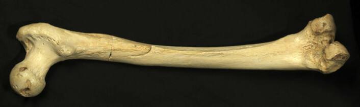 Et mer enn 300 000 år gammelt lårbein er blant resultatene etter tjue år med utgravinger. (Foto: Javier Trueba, MADRID SCIENTIFIC FILMS)
