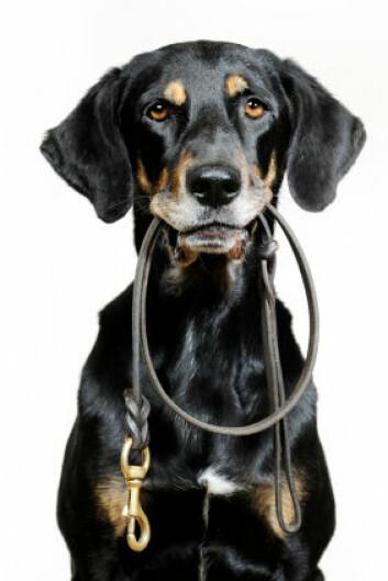 Ikke alle hunder er like veloppdragne som denne. (Foto: iStockphoto)