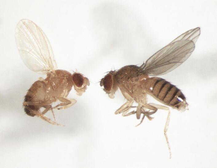 Bananfluer, Drosophila melanogaster, hann til venstre og hunn til høyre. Foto: privat