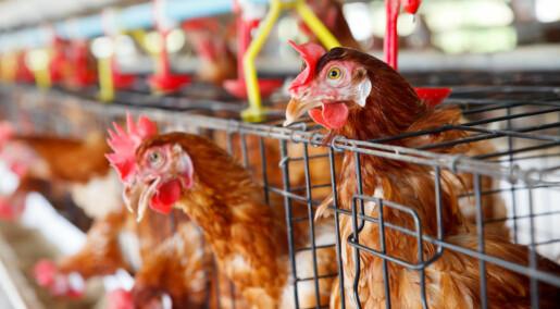 Får høna tilbake på middagsbordet med mobilt slakteri