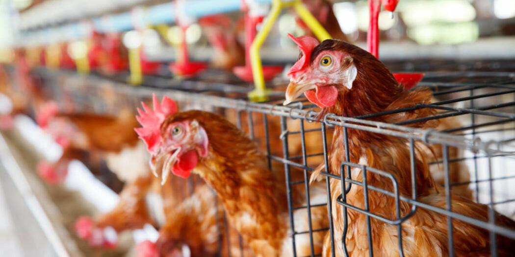 Fra betong til mat: Høna skal tilbake på tallerkenen, takket være en ny løsning som gjør slakting på gården mulig.