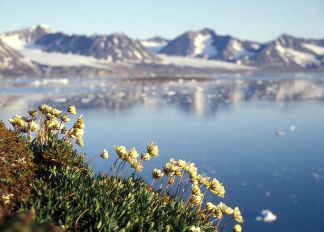 Reinrose er godt utbredt på Svalbard. Dette bildet er fra Kongsfjorden.