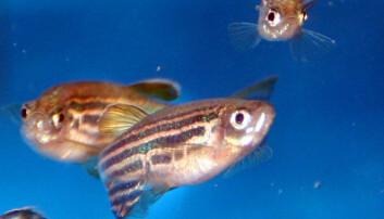 Mye selen fører til færre unger hos fisk