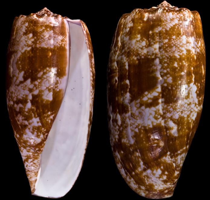 Slik ser skjellene til den giftige sneglen ut. Sneglen har fått navnet Conus Geographus, fordi mønsteret på skallet kan minne om kart.
